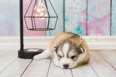 puppy51 week3 BowTiePomsky.com Bowtie Pomsky Puppy For Sale Husky Pomeranian Mini Dog Spokane WA Breeder Blue Eyes Pomskies web2