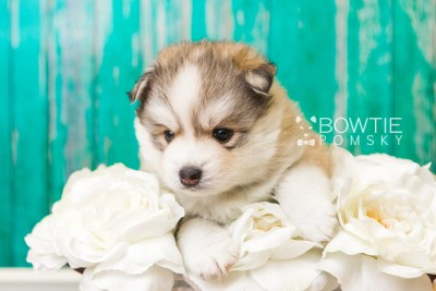 puppy51 week5 BowTiePomsky.com Bowtie Pomsky Puppy For Sale Husky Pomeranian Mini Dog Spokane WA Breeder Blue Eyes Pomskies web1