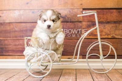 puppy51 week5 BowTiePomsky.com Bowtie Pomsky Puppy For Sale Husky Pomeranian Mini Dog Spokane WA Breeder Blue Eyes Pomskies web4