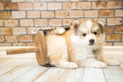 puppy51 week7 BowTiePomsky.com Bowtie Pomsky Puppy For Sale Husky Pomeranian Mini Dog Spokane WA Breeder Blue Eyes Pomskies web3