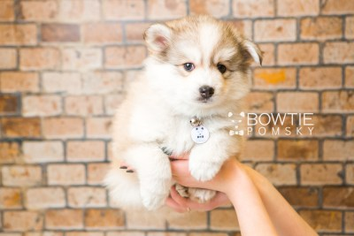puppy51 week7 BowTiePomsky.com Bowtie Pomsky Puppy For Sale Husky Pomeranian Mini Dog Spokane WA Breeder Blue Eyes Pomskies web4