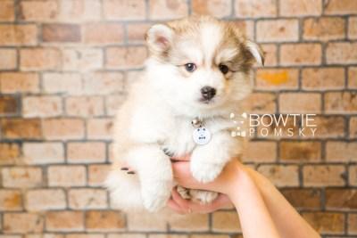 puppy51 week7 BowTiePomsky.com Bowtie Pomsky Puppy For Sale Husky Pomeranian Mini Dog Spokane WA Breeder Blue Eyes Pomskies web4