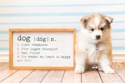 puppy51 week7 BowTiePomsky.com Bowtie Pomsky Puppy For Sale Husky Pomeranian Mini Dog Spokane WA Breeder Blue Eyes Pomskies web6