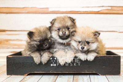 puppy52-54 week7 BowTiePomsky.com Bowtie Pomsky Puppy For Sale Husky Pomeranian Mini Dog Spokane WA Breeder Blue Eyes Pomskies web