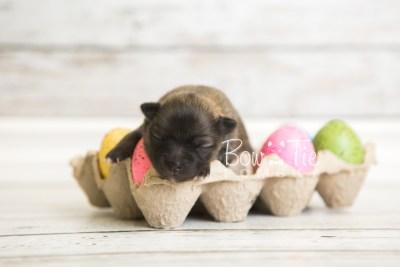 puppy52 week1 BowTiePomsky.com Bowtie Pomsky Puppy For Sale Husky Pomeranian Mini Dog Spokane WA Breeder Blue Eyes Pomskies web2