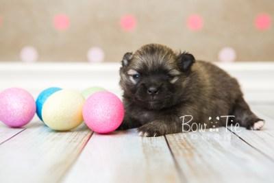 puppy52 week3 BowTiePomsky.com Bowtie Pomsky Puppy For Sale Husky Pomeranian Mini Dog Spokane WA Breeder Blue Eyes Pomskies web2