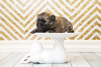 puppy52 week3 BowTiePomsky.com Bowtie Pomsky Puppy For Sale Husky Pomeranian Mini Dog Spokane WA Breeder Blue Eyes Pomskies web3