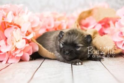 puppy52 week3 BowTiePomsky.com Bowtie Pomsky Puppy For Sale Husky Pomeranian Mini Dog Spokane WA Breeder Blue Eyes Pomskies web5