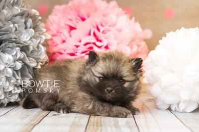 puppy52 week5 BowTiePomsky.com Bowtie Pomsky Puppy For Sale Husky Pomeranian Mini Dog Spokane WA Breeder Blue Eyes Pomskies web1