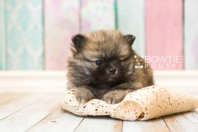 puppy52 week7 BowTiePomsky.com Bowtie Pomsky Puppy For Sale Husky Pomeranian Mini Dog Spokane WA Breeder Blue Eyes Pomskies web2