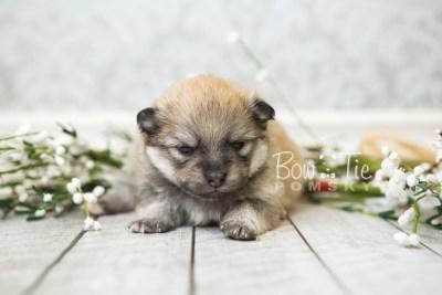 puppy53 week3 BowTiePomsky.com Bowtie Pomsky Puppy For Sale Husky Pomeranian Mini Dog Spokane WA Breeder Blue Eyes Pomskies web3