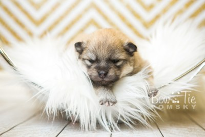 puppy53 week3 BowTiePomsky.com Bowtie Pomsky Puppy For Sale Husky Pomeranian Mini Dog Spokane WA Breeder Blue Eyes Pomskies web4