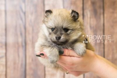 puppy53 week5 BowTiePomsky.com Bowtie Pomsky Puppy For Sale Husky Pomeranian Mini Dog Spokane WA Breeder Blue Eyes Pomskies web1
