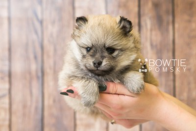 puppy53 week5 BowTiePomsky.com Bowtie Pomsky Puppy For Sale Husky Pomeranian Mini Dog Spokane WA Breeder Blue Eyes Pomskies web1