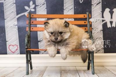 puppy53 week5 BowTiePomsky.com Bowtie Pomsky Puppy For Sale Husky Pomeranian Mini Dog Spokane WA Breeder Blue Eyes Pomskies web2