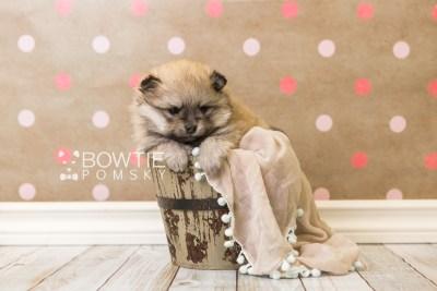 puppy53 week5 BowTiePomsky.com Bowtie Pomsky Puppy For Sale Husky Pomeranian Mini Dog Spokane WA Breeder Blue Eyes Pomskies web5
