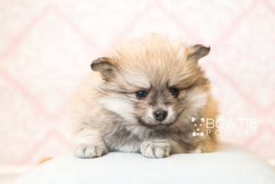 puppy53 week7 BowTiePomsky.com Bowtie Pomsky Puppy For Sale Husky Pomeranian Mini Dog Spokane WA Breeder Blue Eyes Pomskies web3