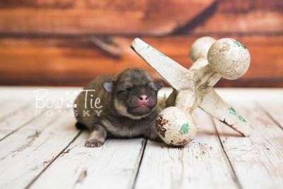puppy54 week1 BowTiePomsky.com Bowtie Pomsky Puppy For Sale Husky Pomeranian Mini Dog Spokane WA Breeder Blue Eyes Pomskies web5