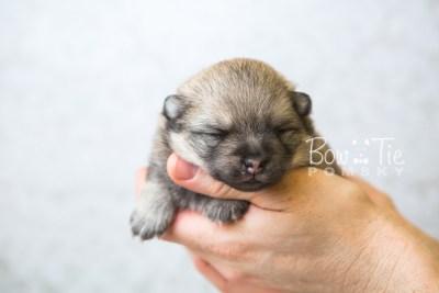 puppy54 week3 BowTiePomsky.com Bowtie Pomsky Puppy For Sale Husky Pomeranian Mini Dog Spokane WA Breeder Blue Eyes Pomskies web2