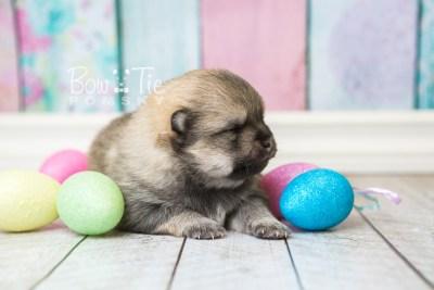 puppy54 week3 BowTiePomsky.com Bowtie Pomsky Puppy For Sale Husky Pomeranian Mini Dog Spokane WA Breeder Blue Eyes Pomskies web4