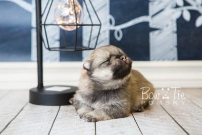 puppy54 week3 BowTiePomsky.com Bowtie Pomsky Puppy For Sale Husky Pomeranian Mini Dog Spokane WA Breeder Blue Eyes Pomskies web6