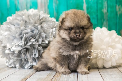 puppy54 week5 BowTiePomsky.com Bowtie Pomsky Puppy For Sale Husky Pomeranian Mini Dog Spokane WA Breeder Blue Eyes Pomskies web1