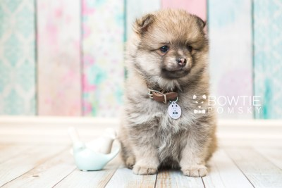 puppy54 week7 BowTiePomsky.com Bowtie Pomsky Puppy For Sale Husky Pomeranian Mini Dog Spokane WA Breeder Blue Eyes Pomskies web1