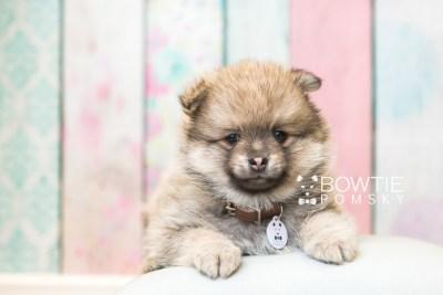 puppy54 week7 BowTiePomsky.com Bowtie Pomsky Puppy For Sale Husky Pomeranian Mini Dog Spokane WA Breeder Blue Eyes Pomskies web2