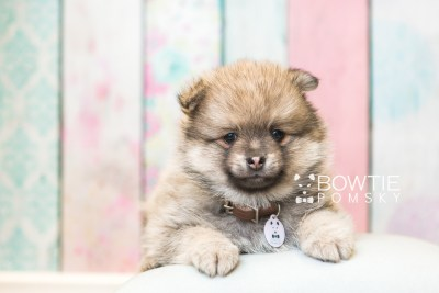 puppy54 week7 BowTiePomsky.com Bowtie Pomsky Puppy For Sale Husky Pomeranian Mini Dog Spokane WA Breeder Blue Eyes Pomskies web2