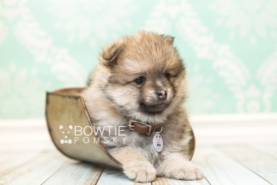 puppy54 week7 BowTiePomsky.com Bowtie Pomsky Puppy For Sale Husky Pomeranian Mini Dog Spokane WA Breeder Blue Eyes Pomskies web3