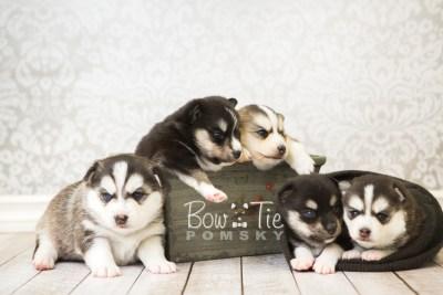 puppy55-59 week3 BowTiePomsky.com Bowtie Pomsky Puppy For Sale Husky Pomeranian Mini Dog Spokane WA Breeder Blue Eyes Pomskies web2
