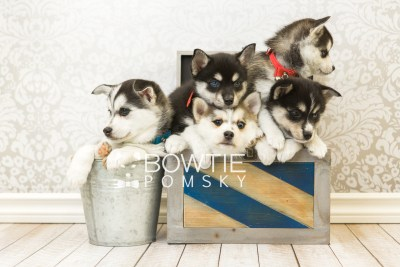 puppy55-59 week7 BowTiePomsky.com Bowtie Pomsky Puppy For Sale Husky Pomeranian Mini Dog Spokane WA Breeder Blue Eyes Pomskies web2
