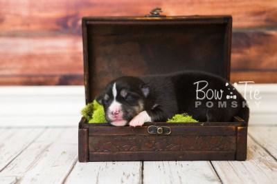puppy55 week1 BowTiePomsky.com Bowtie Pomsky Puppy For Sale Husky Pomeranian Mini Dog Spokane WA Breeder Blue Eyes Pomskies web1