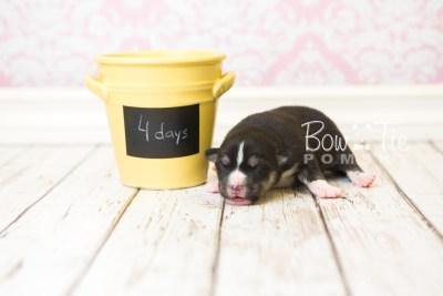puppy55 week1 BowTiePomsky.com Bowtie Pomsky Puppy For Sale Husky Pomeranian Mini Dog Spokane WA Breeder Blue Eyes Pomskies web2