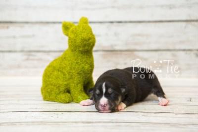 puppy55 week1 BowTiePomsky.com Bowtie Pomsky Puppy For Sale Husky Pomeranian Mini Dog Spokane WA Breeder Blue Eyes Pomskies web5