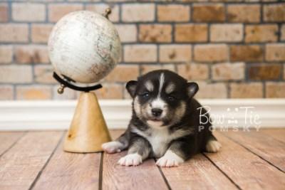 puppy55 week3 BowTiePomsky.com Bowtie Pomsky Puppy For Sale Husky Pomeranian Mini Dog Spokane WA Breeder Blue Eyes Pomskies web1