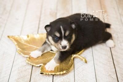 puppy55 week3 BowTiePomsky.com Bowtie Pomsky Puppy For Sale Husky Pomeranian Mini Dog Spokane WA Breeder Blue Eyes Pomskies web4