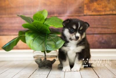 puppy55 week5 BowTiePomsky.com Bowtie Pomsky Puppy For Sale Husky Pomeranian Mini Dog Spokane WA Breeder Blue Eyes Pomskies web3