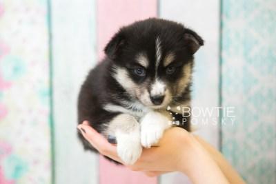 puppy55 week5 BowTiePomsky.com Bowtie Pomsky Puppy For Sale Husky Pomeranian Mini Dog Spokane WA Breeder Blue Eyes Pomskies web5