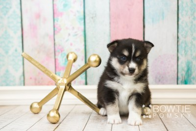 puppy55 week5 BowTiePomsky.com Bowtie Pomsky Puppy For Sale Husky Pomeranian Mini Dog Spokane WA Breeder Blue Eyes Pomskies web6