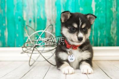 puppy55 week7 BowTiePomsky.com Bowtie Pomsky Puppy For Sale Husky Pomeranian Mini Dog Spokane WA Breeder Blue Eyes Pomskies web2