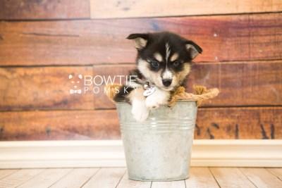 puppy55 week7 BowTiePomsky.com Bowtie Pomsky Puppy For Sale Husky Pomeranian Mini Dog Spokane WA Breeder Blue Eyes Pomskies web3