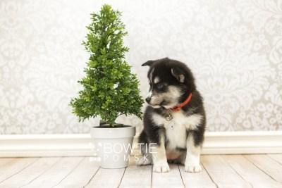 puppy55 week7 BowTiePomsky.com Bowtie Pomsky Puppy For Sale Husky Pomeranian Mini Dog Spokane WA Breeder Blue Eyes Pomskies web5