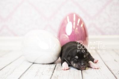 puppy56 week1 BowTiePomsky.com Bowtie Pomsky Puppy For Sale Husky Pomeranian Mini Dog Spokane WA Breeder Blue Eyes Pomskies web4