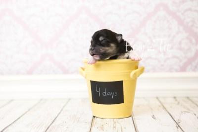 puppy56 week1 BowTiePomsky.com Bowtie Pomsky Puppy For Sale Husky Pomeranian Mini Dog Spokane WA Breeder Blue Eyes Pomskies web5