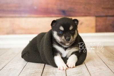 puppy56 week3 BowTiePomsky.com Bowtie Pomsky Puppy For Sale Husky Pomeranian Mini Dog Spokane WA Breeder Blue Eyes Pomskies web2