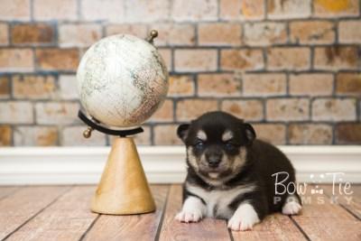 puppy56 week3 BowTiePomsky.com Bowtie Pomsky Puppy For Sale Husky Pomeranian Mini Dog Spokane WA Breeder Blue Eyes Pomskies web6