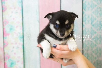 puppy56 week5 BowTiePomsky.com Bowtie Pomsky Puppy For Sale Husky Pomeranian Mini Dog Spokane WA Breeder Blue Eyes Pomskies web1