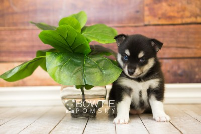 puppy56 week5 BowTiePomsky.com Bowtie Pomsky Puppy For Sale Husky Pomeranian Mini Dog Spokane WA Breeder Blue Eyes Pomskies web4