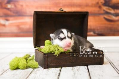 puppy57 week1 BowTiePomsky.com Bowtie Pomsky Puppy For Sale Husky Pomeranian Mini Dog Spokane WA Breeder Blue Eyes Pomskies web1